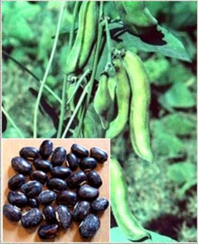 Chlorella with Mucuna – The Most Rejuvenating Herb ...