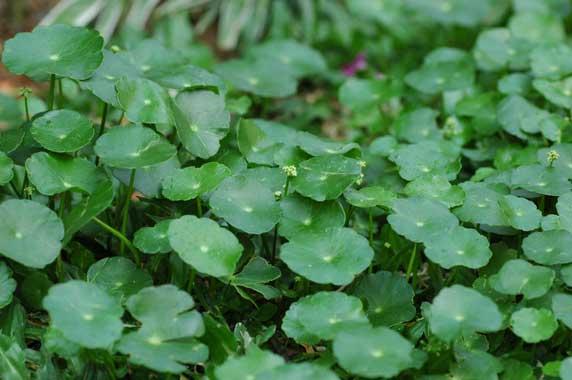 What is gotu kola herb