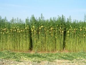 hemp-farm (1)