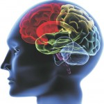brain-skull