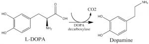 l-dopa-to-dopamine
