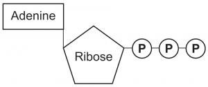 Ribose Creates    ATP      Energy  Dr Bob McCauley s Health BLOGDr Bob McCauley s Health BLOG