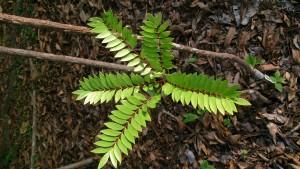 Tongkat_Ali_(Eurycoma_longifolia)