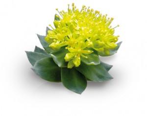 rhodiola-rosea
